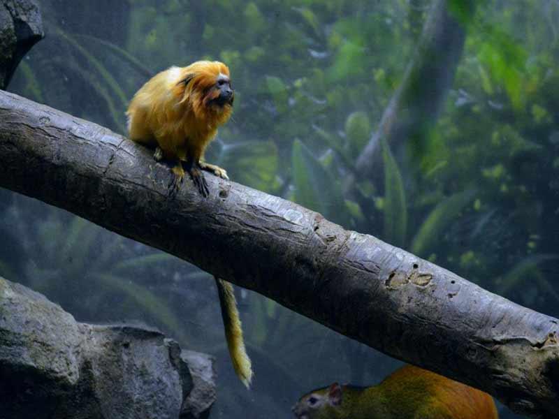 Golden Lion Tamarin sitting on log at the Buffalo Zoo