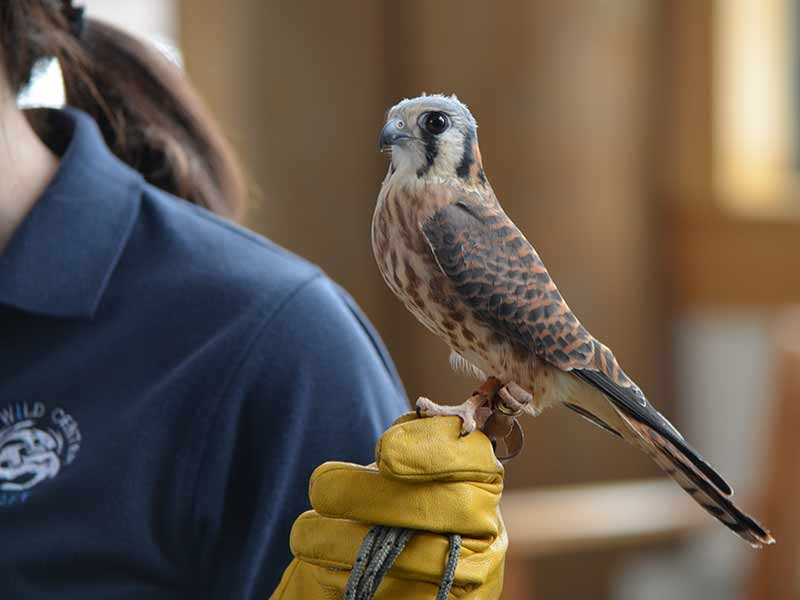 a Kestral Hawk perched on a handler at The Wild Center in Tupper Lake NY